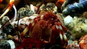 Kankerkluizenaar onderwater op zoek naar voedsel op zeebedding van Witte Overzees Rusland stock videobeelden