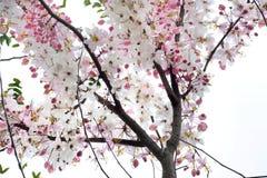 Kanlapaphruek blommor Royaltyfri Foto