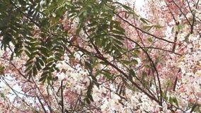 Kanlapaphruek blomningträd och att låta det lämna tidigt När blommorna blommar lager videofilmer