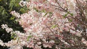 Kanlapaphruek blomningträd och att låta det lämna tidigt När blommorna blommar stock video