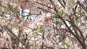 Kanlapaphruek flowering tree, Allowing it to leave early. When the flowers bloom. So we do not see it at all its leaves stock video footage