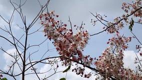 Kanlapaphruek flowering tree. When the flowers bloom.  stock video footage