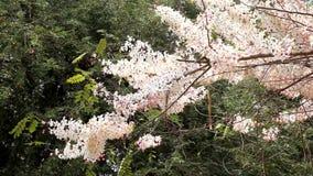 Kanlapaphruek flowering tree. When the flowers bloom. So we do not see it at all its leaves stock video