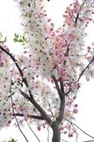 Kanlapaphruek flowers Royalty Free Stock Photography