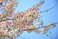 Kanlapaphruekbloemen royalty-vrije stock afbeelding