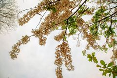 Kanlapaphruekbloemen stock foto's