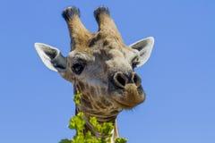 Kann ich Ihnen helfen? - Nationalpark Kruger Lizenzfreies Stockfoto