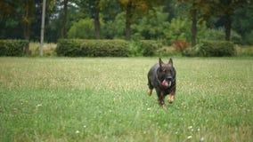 KANN VERFOLGEN Unterrichtende Befehle des Mannes sein Schäferhund stock footage