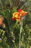 Kanna. In a tropical garden Royalty Free Stock Image