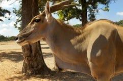 Kanna antelope Stock Photography