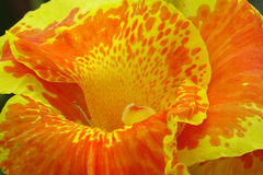 Kanna Kwiat Zdjęcie Royalty Free
