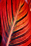 Kanna liścia zbliżenie Obraz Stock