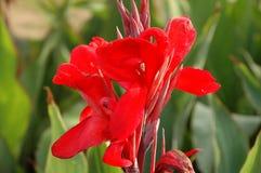 Kanna rosso Fotografia Stock