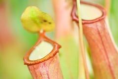 kannaväxt Fotografering för Bildbyråer