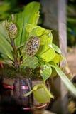kannaväxt arkivfoton
