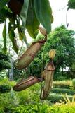 Kannaväxter Royaltyfria Bilder