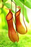Kannenpflanze Lizenzfreies Stockbild