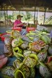Kannenpflanze für Verkauf lizenzfreie stockfotos