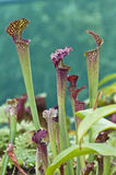 Kannenpflanzen (Nepenthes) Stockfotografie