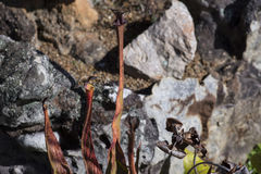 Kannenpflanzen und Felsen Stockfotos
