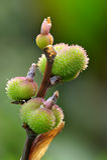 kanny owoc Obrazy Royalty Free