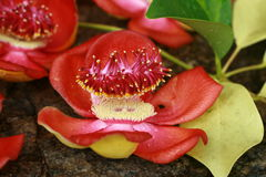 Kanone-Kugel-Baumblume Seychellen-Insel Lizenzfreie Stockbilder