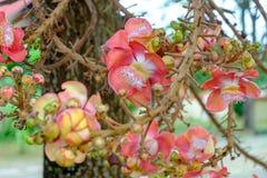 Kanonenkugel-Baum mit Blumen sind in voller Blüte, sind die Blumen kleine und große Blume Stockbild