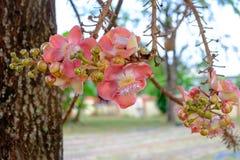 Kanonenkugel-Baum mit Blumen sind in voller Blüte, sind die Blumen kleine und große Blume Lizenzfreie Stockbilder