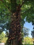 Kanonenkugelbaum ist in 40 Jahren alt bei Khao Kho in Thailand stockfotos