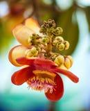 Kanonenkugelbaumblume Lizenzfreies Stockfoto