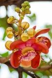Kanonenkugelbaumblume Stockfotografie