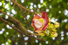 Kanonenkugelblume des Kanonenkugel-Baums oder des Salz-Baums Stockfotos