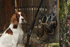 Kanonhond dichtbij aan jachtgeweer en trofeeën Stock Afbeelding