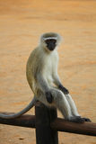 采取休息在篱芭的黑长尾小猴 滑稽的照片 克鲁格公园 非洲著名kanonkop山临近美丽如画的南春天葡萄园 免版税图库摄影