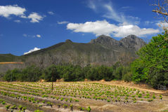 Kanonkop vineyard. South Africa. Famous Kanonkop vineyard near picturesque mountains at spring royalty free stock image