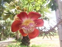 Kanonskogelbloem of Couroupita-guianensis in de tuin royalty-vrije stock foto's