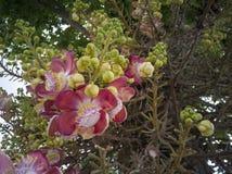 Kanonskogelbloem of Couroupita-guianensis in de tuin royalty-vrije stock afbeeldingen