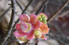 Kanonskogelboom (Couroupita-guianensis) Stock Fotografie
