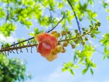 Kanonskogelboom of Couroupita-guianensis Stock Foto's