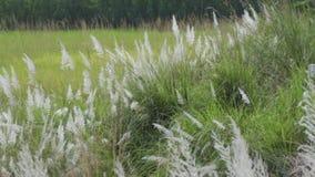 Kans草,蔗糖spontaneum,加尔各答,西孟加拉邦,印度 股票视频