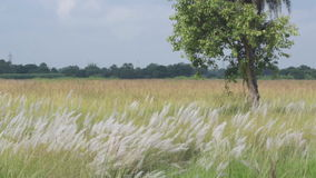 Kans草,蔗糖spontaneum,加尔各答,西孟加拉邦,印度 股票录像
