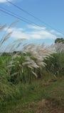 Kans gräs Arkivfoton