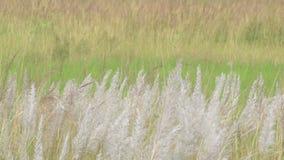Kans-Gras Zucker spontaneum, bei Kolkata, Westbengalen, Indien stock footage
