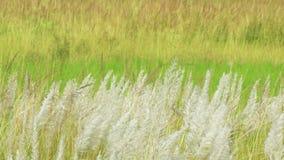 Kans-Gras, Zucker spontaneum, Kolkata, Westbengalen, Indien stock video