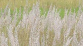 Kans-Gras, Zucker spontaneum, Kolkata, Westbengalen, Indien stock footage