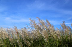 Kans grass locally known as the Kash flower in Bangladesh Stock Images