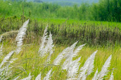 Kans grass Saccharum spontaneum, at Kolkata, West Bengal, India Stock Image