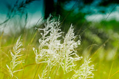Kans grass , Saccharum spontaneum, Kolkata, West Bengal, India Stock Image