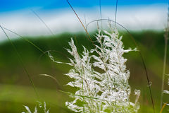 Kans grass Saccharum spontaneum, at Kolkata, West Bengal, India Royalty Free Stock Photo