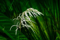 Kans grass , Saccharum spontaneum, Kolkata, West Bengal, India Stock Images